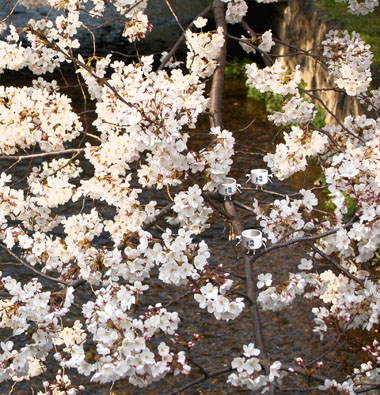 Gion09spring5_2
